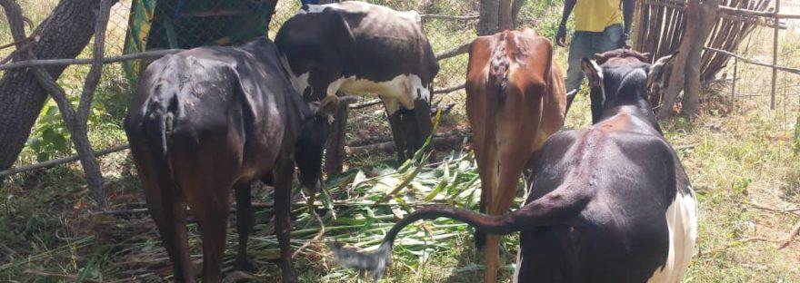 un jeune prend soin des 4 bovins